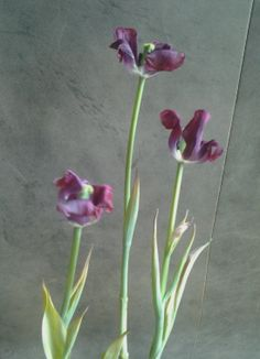 My New Mylar Tulip just bought at Tractor Supply. Color Plum,true to pic. long, slender leaves are 1in wide, grow 12in Ht. Only 1/2 inch in size,  flowers cluster  6- 8in spikes. Planted late September - late October. Bulbs flower & grow through summer, die down in fall & rest during winter. Tulips require a cold resting period for spring growth. Colors ranging from white & yellow to red, pink, Plum & blue. Full Sun sandy soils being ideal. Perennial Z 4-10.