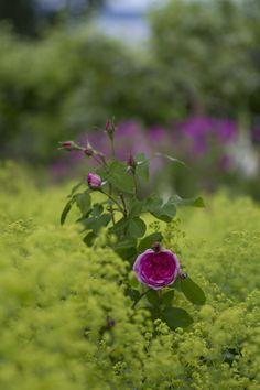 Rose in Alcemilla Mollis