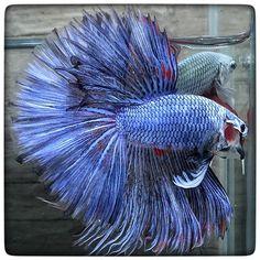 AquaBid.com - Warriors light blue (1565)