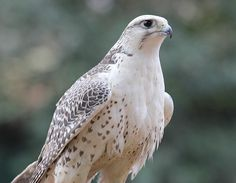 """Gyrfalcon (Falco rusticolus) - photo by raniero massoli-novelli; This bird (also spelled gerfalcon) is the largest falcon. Males are 19-24 inches long and have a wingspan of 43-51 inches. They live on Arctic coasts and the islands of North America, Europe, and Asia. Plumage varies greatly – the """"morphs"""" are called white, sliver, brown, and black. - info from Wikipedia"""