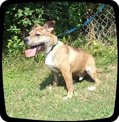 JANSON ~ Marietta, GA,  Breed: Pit Bull Terrier Mix Color: Brindle - With White Age: Young, Size: Med. 26-60 lbs (12-27 kg) Sex: Male ID#: 558696 , I am already neutered and up to date with shots. Act quickly to adopt JANSON. Pets at this Shelter may be held for only a short time. Friends of Shelter Animals for Cobb