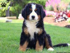 Bernese Mountain Dog #BerneseMountainDog
