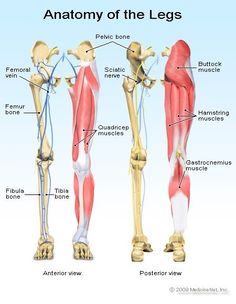 Information about broken leg bones. There are four bones in the leg that may break due to injury, trauma, or disease. A broken leg bone requires medical care. Leg Muscles Anatomy, Ankle Anatomy, Anatomy Bones, Muscle Anatomy, Nerve Anatomy, Foot Anatomy, Gross Anatomy, Leg Muscles Diagram, Muscle Diagram