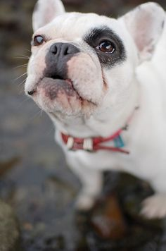 This Pin was discovered by Kim Hughes. Discover (and save!) your own Pins on Pinterest.   See more about french bulldogs, kisses and bulldogs.