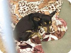 04/08/2015 URGENT Scottsdale, AZ - female Chihuahua Mix. Meet and save A3574493, a cute spayed dog for adoption.Maricopa County Animal Care & Control http://www.adoptapet.com/pet/12561153-scottsdale-arizona-chihuahua-mix