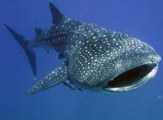 I would love to one day dive with whale sharks