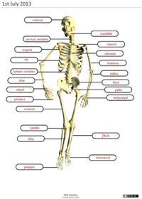 Learn the Bone Zone: Torso   Knochen, Vokablen und Menschlicher Körper