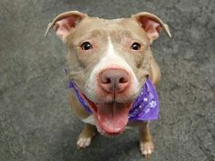 TO BE DESTROYED 9/8/14 Manhattan Center -P  My name is DIAMON. My Animal ID # is A1012708. I am a female cream and white pit bull mix. The shelter thinks I am about 3 YEARS old.  **$150 DONATION to the NEW HOPE RESCUE that pulls! Please see URGENT for details** https://m.facebook.com/photo.php?fbid=867464729933074&id=152876678058553&set=a.611290788883804.1073741851.152876678058553&source=49&ref=stream