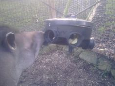 Piping connector turned into a tapir feeding device - could use for giraffes