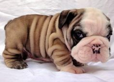 cute bulldog puppies. Ohhhh @Lana Rainier this is right up your alley!