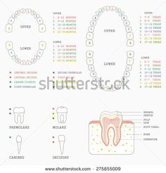 Dental charts to help you understand the tooth numbering system human tooth anatomy chart diagram teeth illustration ccuart Choice Image
