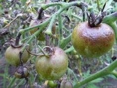 ФИТИФТОРА====================================Фитофтороз — пожалуй, самое неприятное и распространенное заболевание среди пасленовых. Из года в год оно заставляет волноваться каждого дачника, рассчитывающего на хороший урожай томатов и картофеля. Листья заболевшего растения сначала покрываются коричневыми пятнами, затем гниль передается на стебли и плоды, в итоге в благоприятных для гриба условиях куст буквально «сгорает» за 2 дня.  Как известно, грибковые заболевания хорошо лечатся…