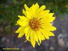 Botón de Oro  (Grindelia speciosa-Asteráceas-)