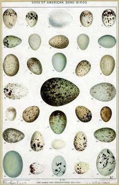 bird eggs of American song birds