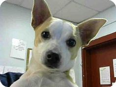 💥NO LONGER AVAILABLE 💥 ACT QUICKLY OUT OF TIME PLEASE SHARE NOW IT SAVES LIVES ■■■ Atlanta, GA - Chihuahua/Jack Russell Terrier Mix. Meet SUNSHINE, a dog for adoption. http://www.adoptapet.com/pet/15859951-atlanta-georgia-chihuahua-mix
