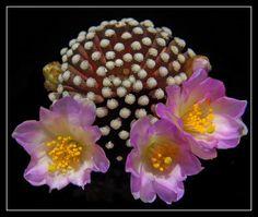 Mammillaria luethii