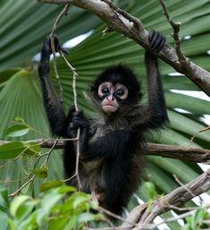 Baby Spider Monkey  Flickr - Photo Sharing!