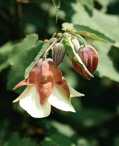 Abutilon Ines,buy Flowering Maple for sale,Plants on-line-Plant Delights Nursery, Inc.