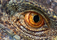 real lizard eye