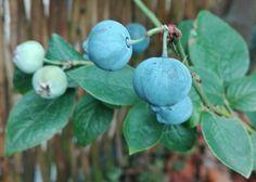 """Blauwe bes, Vaccinium Corymbosum """"Bluegold""""; eind juli '17"""