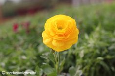 Picture of Persian buttercup, More flower pictures on this website! Persian Buttercup, Flower Pictures, Colorful Flowers, Garden Plants, Light Colors, Planting Flowers, Vibrant, Rose, Spring
