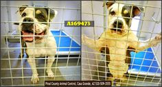 ***CODE RED - NEEDS COMMITMENT HOLD BY 5:30 AM PDT, SATURDAY, JULY 11, 2015*** Duplicate picture of 3 year old female pit bull terrier. Can you foster/adopt/rescue her?