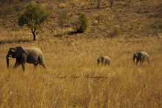 Two youngsters follow mum through the reserve Elephant Family, Kruger National Park, African Elephant, Lonely Planet, Elephants, North West, Travel Guide, South Africa, Wildlife