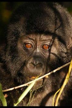 Gorillas In The Mist, Pet Monkey, Out Of Africa, Primates, Adorable Animals, Predator, Cousins, Wildlife, Creatures