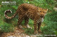North China leopard snarling