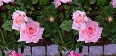 """#D roses --  Let your eyes slightly """"cross"""";  And the 3D Image will stand out...!"""