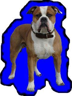The American Bulldog