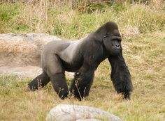 silverback gorilla....there's something about them that I think is so beautiful!