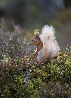 .  Red Squirrels impressive tail (by David C Walker 1967)