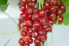 Rovada redcurrants are simply the best redcurrant variety available today. Rovada is almost the perfect redcurrant bush. The berries are carried in long strings to make picking easy, yields are enormous (up to 10kgs per bush) and the redcurrants themselves are outstandingly tasty.