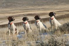 springer spaniel hunting - Google Search