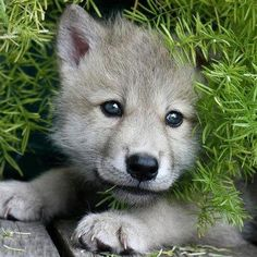 Wolf cub among the foliage
