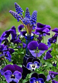 What a wonderful combination of healing plants. The pansy faces are just lovely