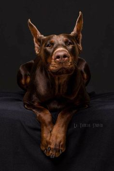 The Doberman Pinscher is among the most popular breed of dogs in the world. Known for its intelligence and loyalty, the Pinscher is both a police- favorite Beautiful Dogs, Animals Beautiful, Cute Animals, Animals And Pets, Teacup Chihuahua, Perro Doberman Pinscher, I Love Dogs, Cute Dogs, Doberman Love