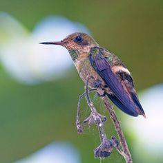 Hummingbirds in the Americas: Beija-flor-de-range Cinnamon