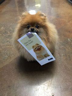 Luni Bulldog Puppies, Cute Puppies, Cute Dogs, Dogs And Puppies, Doggies, Spitz Pomeranian, Cute Pomeranian, Pomeranians, Animals And Pets