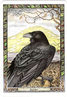 My Favorite Raven pic. Druid Animal Oracle produced by Stephanie Carr-Gomm & Philip Carr-Gomm… Crow Art, Raven Art, Bird Art, Choucas Des Tours, Blackbird Singing, Quoth The Raven, Crows Ravens, Jackdaw, Animal Totems