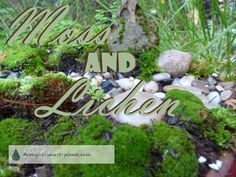 Moss and Lichen; drought tolerant plants for Japanese gardens... Gardening | Japanese Gardens