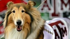 Texas A and M's Reveille VIII. CUTE!