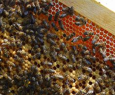 Bees from the Black sea region of Turkey