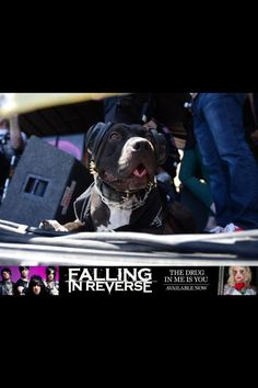 Charlie, Ronnie Radke of Falling In Reverse's dog on warped tour! N'awwww this is literally the cutest thing I've seen today Kinds Of Music, Music Is Life, My Music, Cute Pitbulls, Ron Ron, Rock Animals, Im Coming Home, Escape The Fate, Ronnie Radke