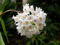 Você conhece a formosa Orquídea-terrestre?  Sucesso em orquidários e feiras de plantas, esta orquídea terrestre ainda é pouco explorada no paisagismo. É uma pena, pois ela proporciona um belíssimo efeito, principalmente do inverno à primavera, época de sua florada. Hastes de até 15 cm com cachos de flores brancas ou lilás pálido e labelo salpicado de púrpura se formam acima da folhagem. Perfumadas, elas duram cerca de 20 dias. Quando a florada passa, a espécie continua ornamentando os…