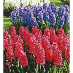Garden State Bulb 20-Pack Hyacinth Collecountion