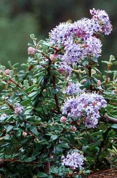 This close up of the Ceanothus maritimus flowers is only maybe 10 cm (5 inches) high.
