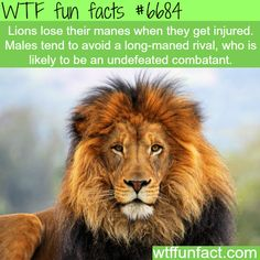 Lion's mane - WTF fun fact