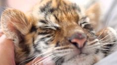 かわいい♪ トラの赤ちゃん